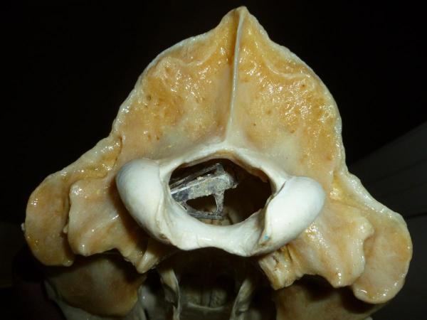 Bear skull 1.JPG