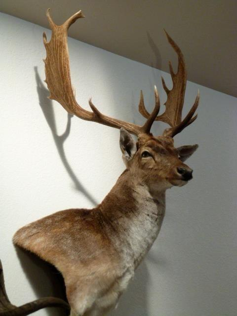 Trophy Rooms Page 2 Taxidermy Coueswhitetail Com