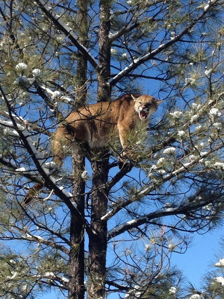 Another Big Tom Treed Mountain Lion Coueswhitetail