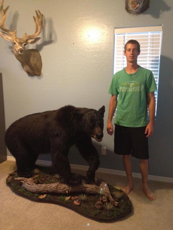 black bear mount - taxidermy