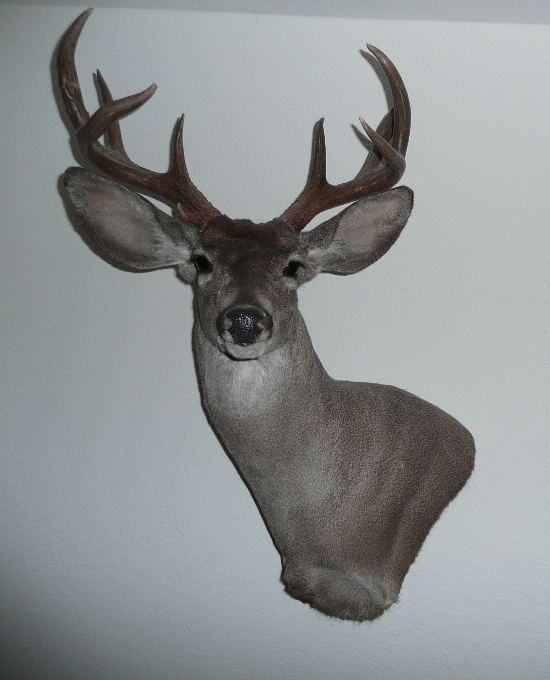 favorite coues taxidermist taxidermy coueswhitetail com