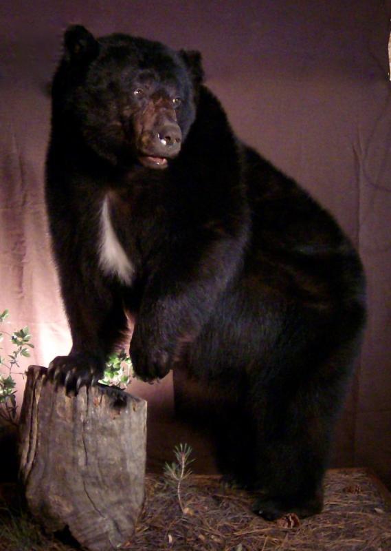 lifesize black bear mount - taxidermy