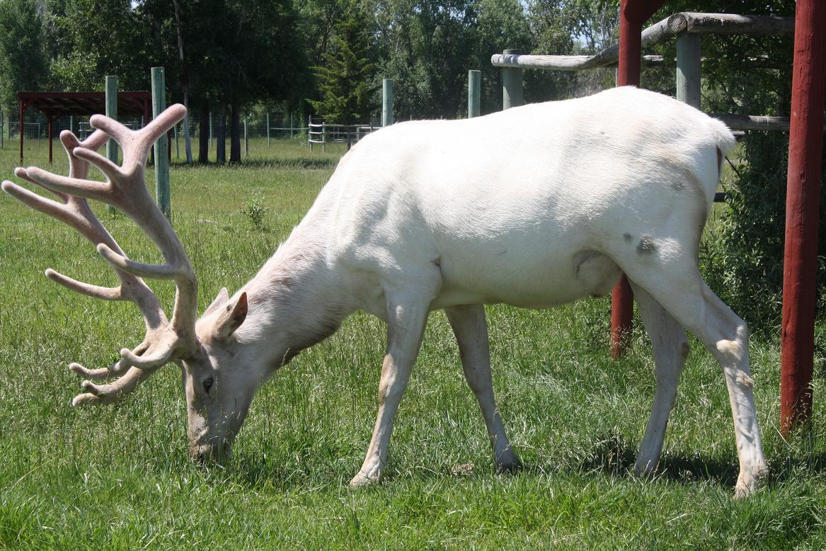 Piebald mule deer