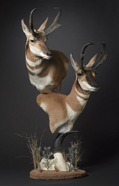Free Shoulder Mount Taxidermy Coueswhitetail Com