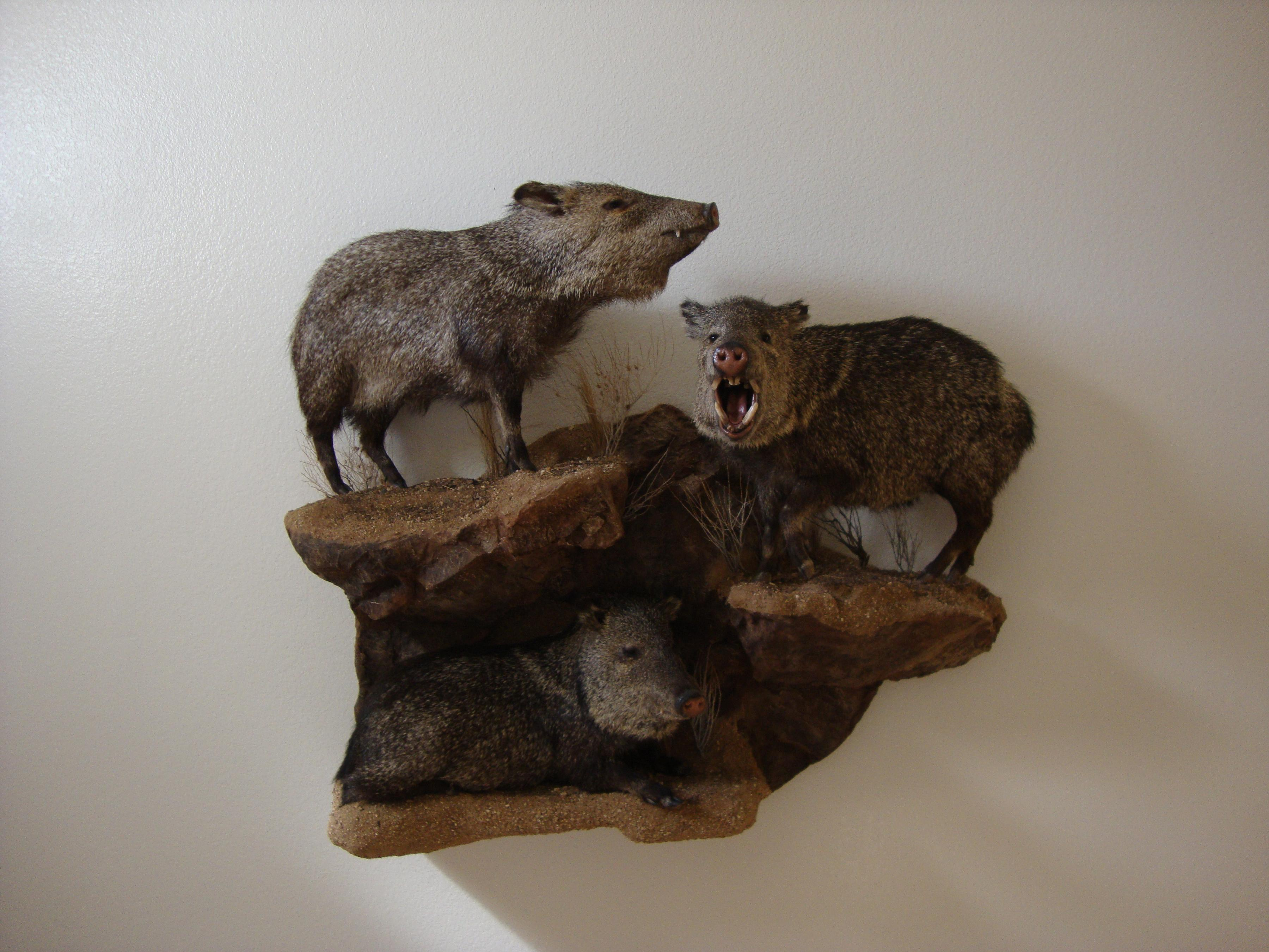monument to javelina  - taxidermy