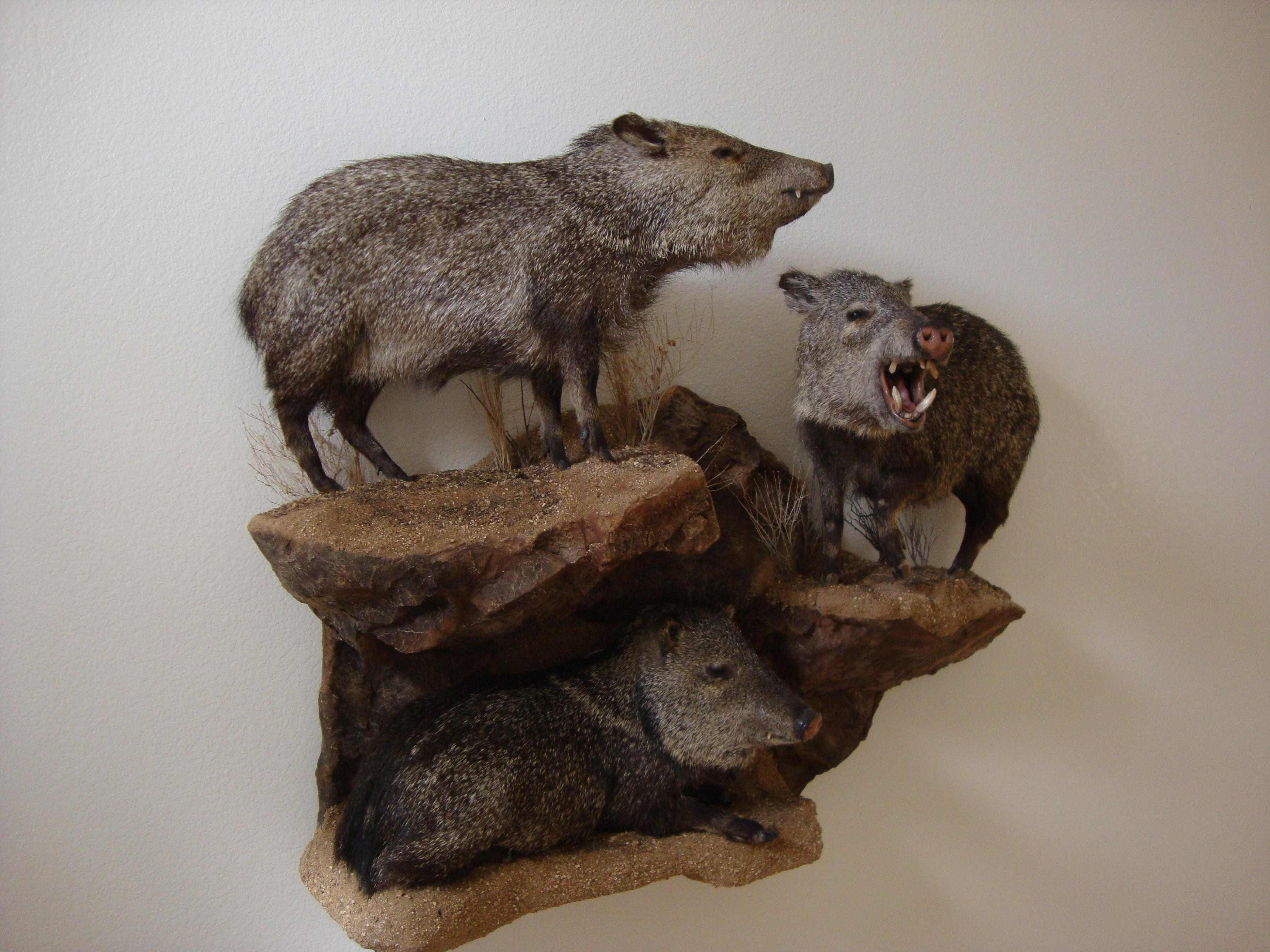 Monument To Javelina Taxidermy Coueswhitetail Com