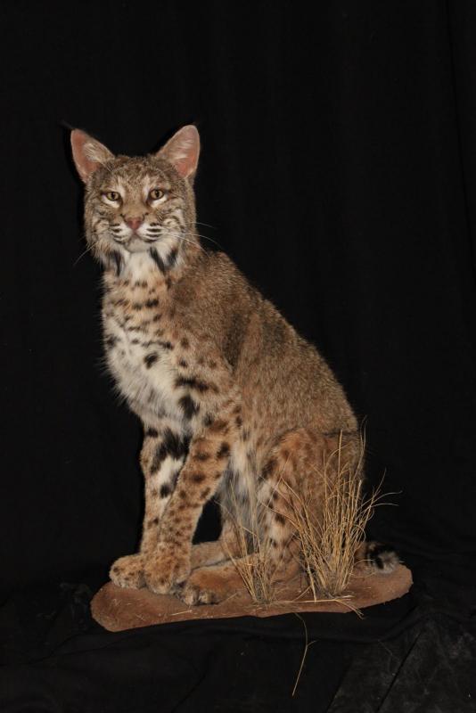 southwest wildlife taxidermy bobcat.jpg