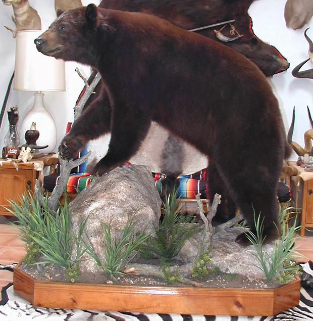 bear mount - taxidermy