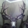 Huge Archery Coues Deer Down! - last post by wildwoody