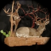 Coues and Mulie in Velvet... - last post by WildHeritageTaxidermy