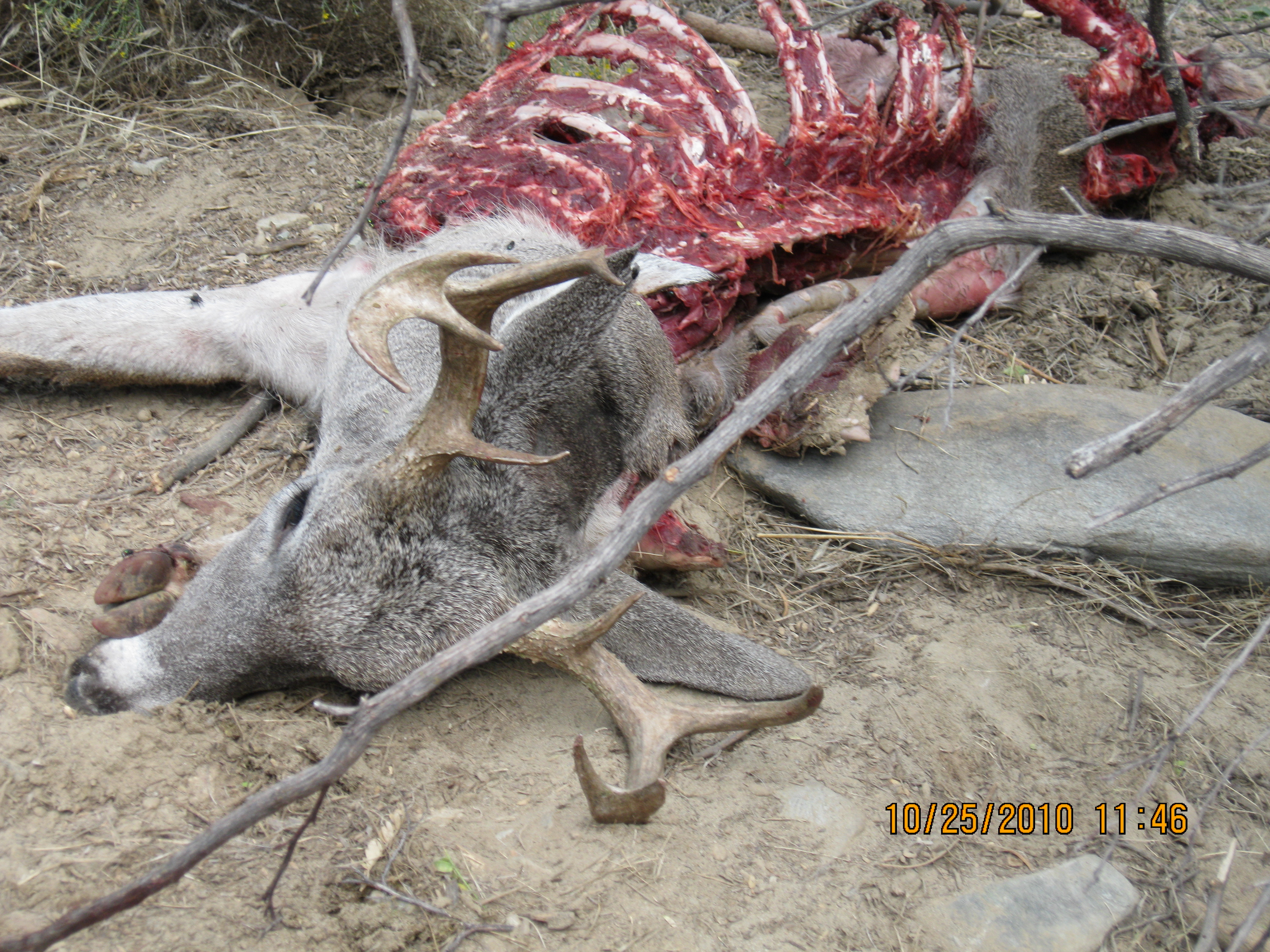 Lion kill - Contests and Giveaways! - CouesWhitetail com