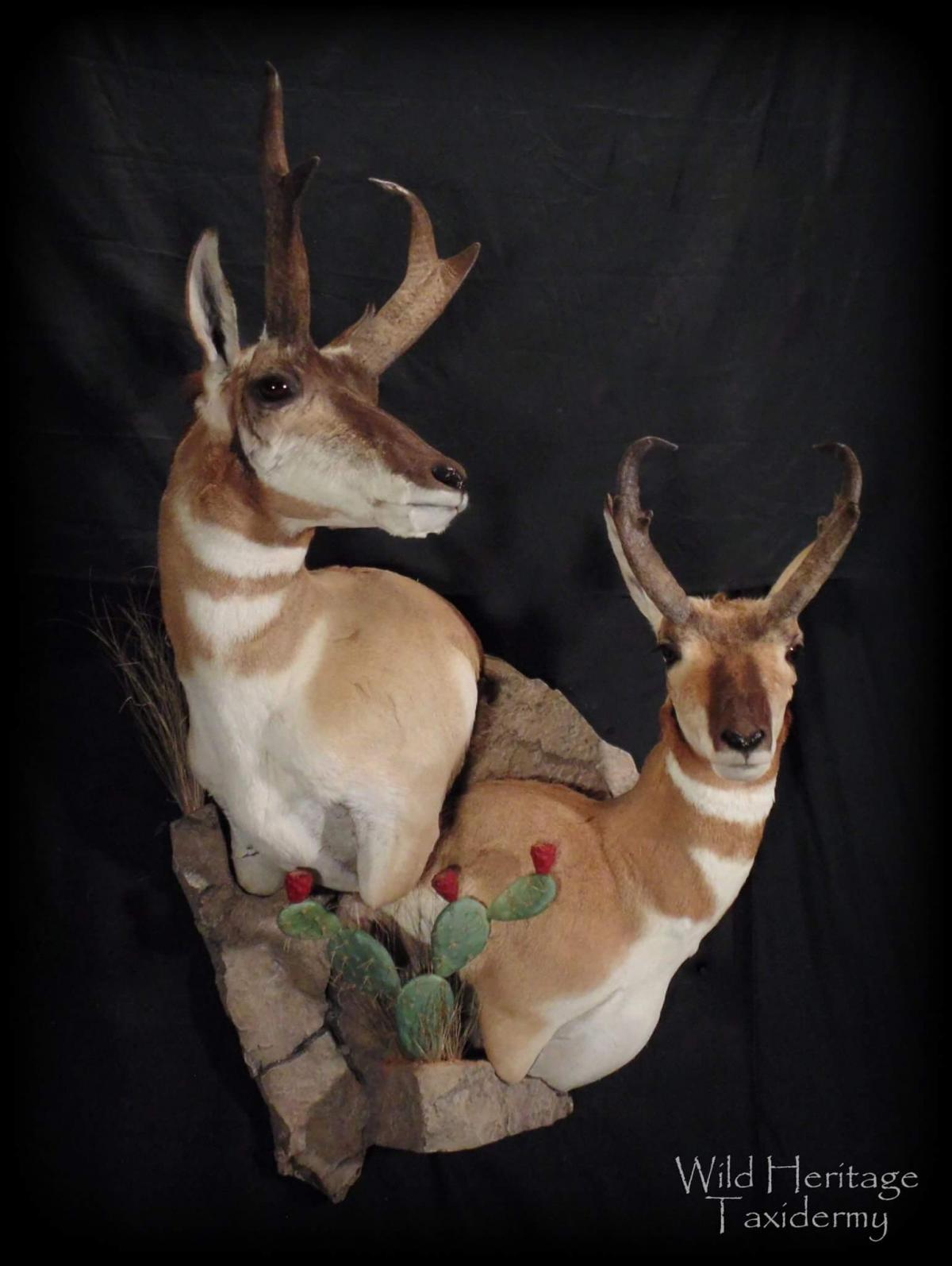 Pronghorn Double Wall Pedestal Taxidermy