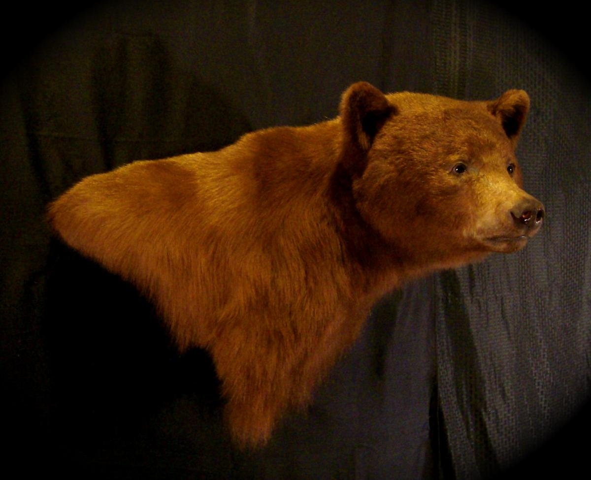 Az Pronghorn And Cinnamon Black Bear Wild Heritage