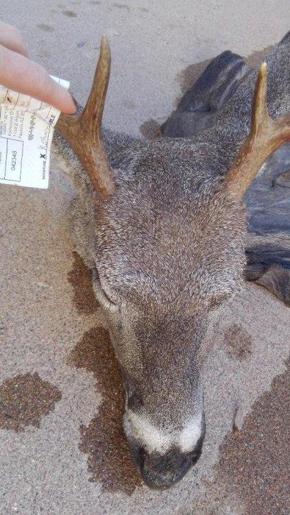 Kats deer head.jpg