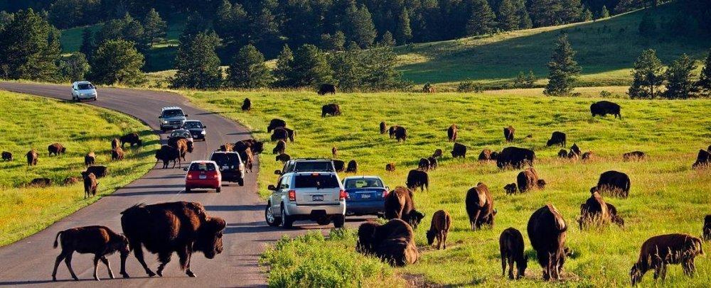 Buffalo-at-Custer-State-Park-Credit-South-Dakota-Tourism-(1).jpg