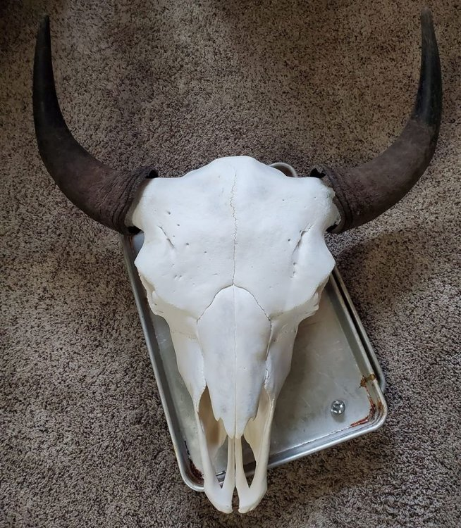 bison.thumb.jpg.81aa405992f3466fd412fcb64638278d.jpg