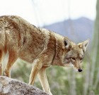 Arizona's Predator Problem