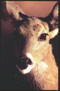 coues deer doe