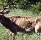 Diseases of Coues Deer