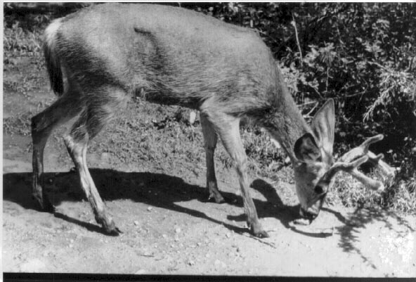 hybrid deer