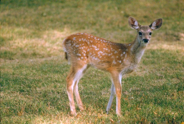 coues deer fawn