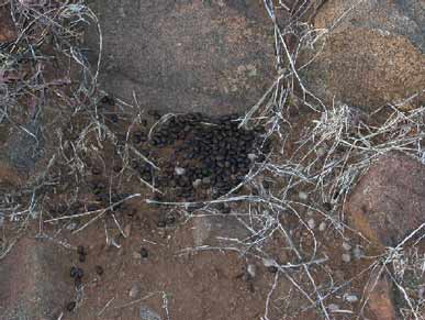 coues deer scat