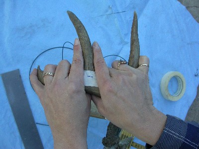 coues antler