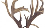 World-Record Non-Typical Coues Deer