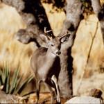 agave-buck