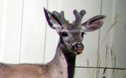 Amanda Moors: Mt. Lemmon buck