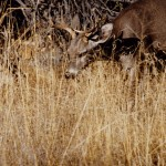 buck-in-grass-closeup