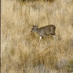 buck-walking-in-grass