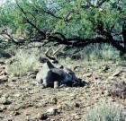 Danny Howard: Bedded buck