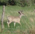 Mike Barnacastle: Fenceline buck