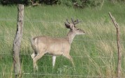 Mike Barnacastle: Fenceline buck
