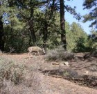 Pinal Coues doe