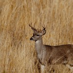 strange-eyed-buck-in-grass