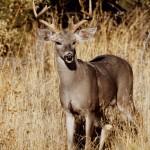 tall-buck