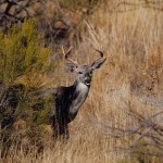tall-buck-by-desert-broom