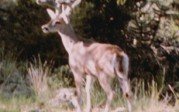 Huge NM Coues deer