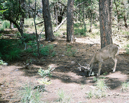 coues deer
