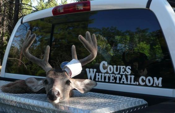coues deer in velvet