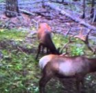DLC Covert Trail Camera Video Samples 2010 – Elk