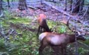 DLC Covert Trail Camera Video Samples 2010 – Elk