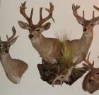 Geoff Lloyd Coues Trophy Wall