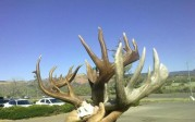 Harold Declay Giant Coues Shed??