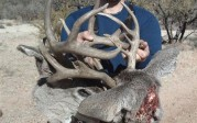 Locked Set of Coues Bucks