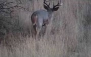 Monster Coues Buck Southern AZ