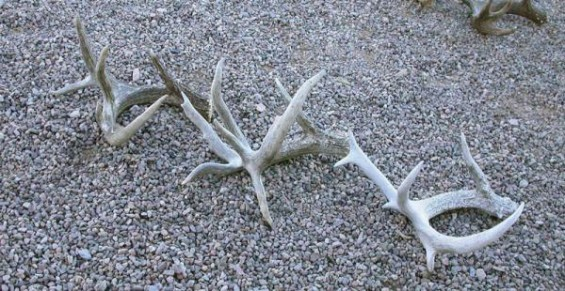 coues deer shed antler series