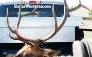 javacowboy with elk & sticker